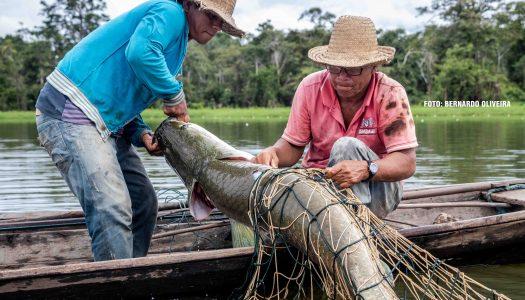 Projeto Gosto da Amazônia – Conheça o pirarucu de manejo